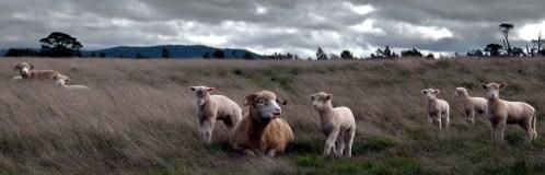 20_js_ lambs n mothers at john sheehans