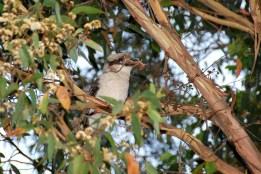 37_h_kookaburra with mouse