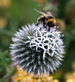 commended bee