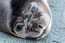 cute weaner seal