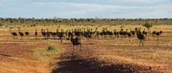 iconic australia_emus