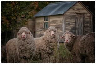 iconicnz0006.my three sheep