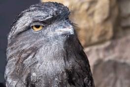 2019_04_AO45_Set Subject_Frogmouth Owl