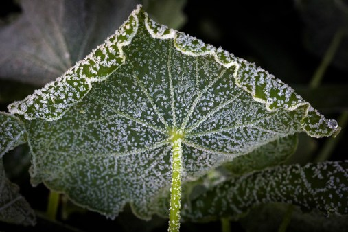2019_06_A019_SET_Frost on leaves