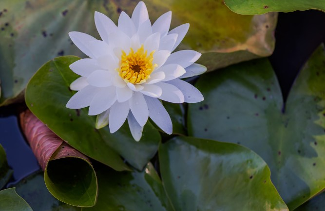 Nature Image - Water Lily at Kennilworth Gardens in southeast Washington DC