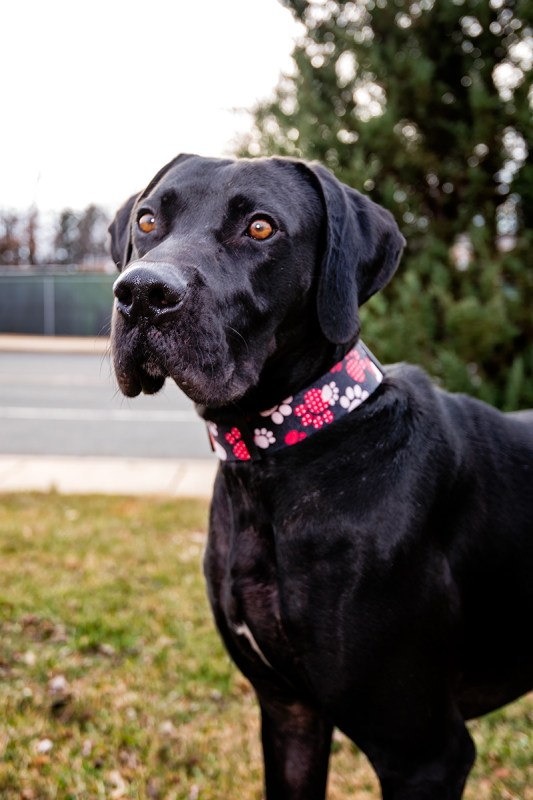 Rescue Dog Buck from Montgomery County Humane Society