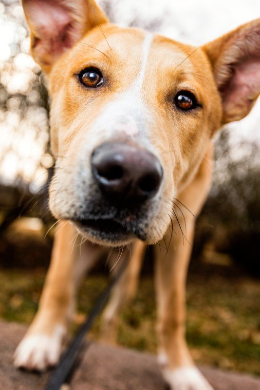 Rescue Dog Hachi from Montgomery County Humane Society