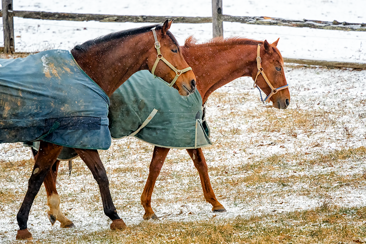 Horses in Blankets