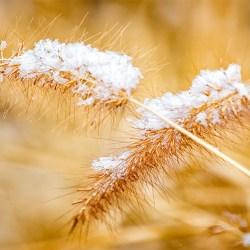 Snow on Wheat Grass 1200-627