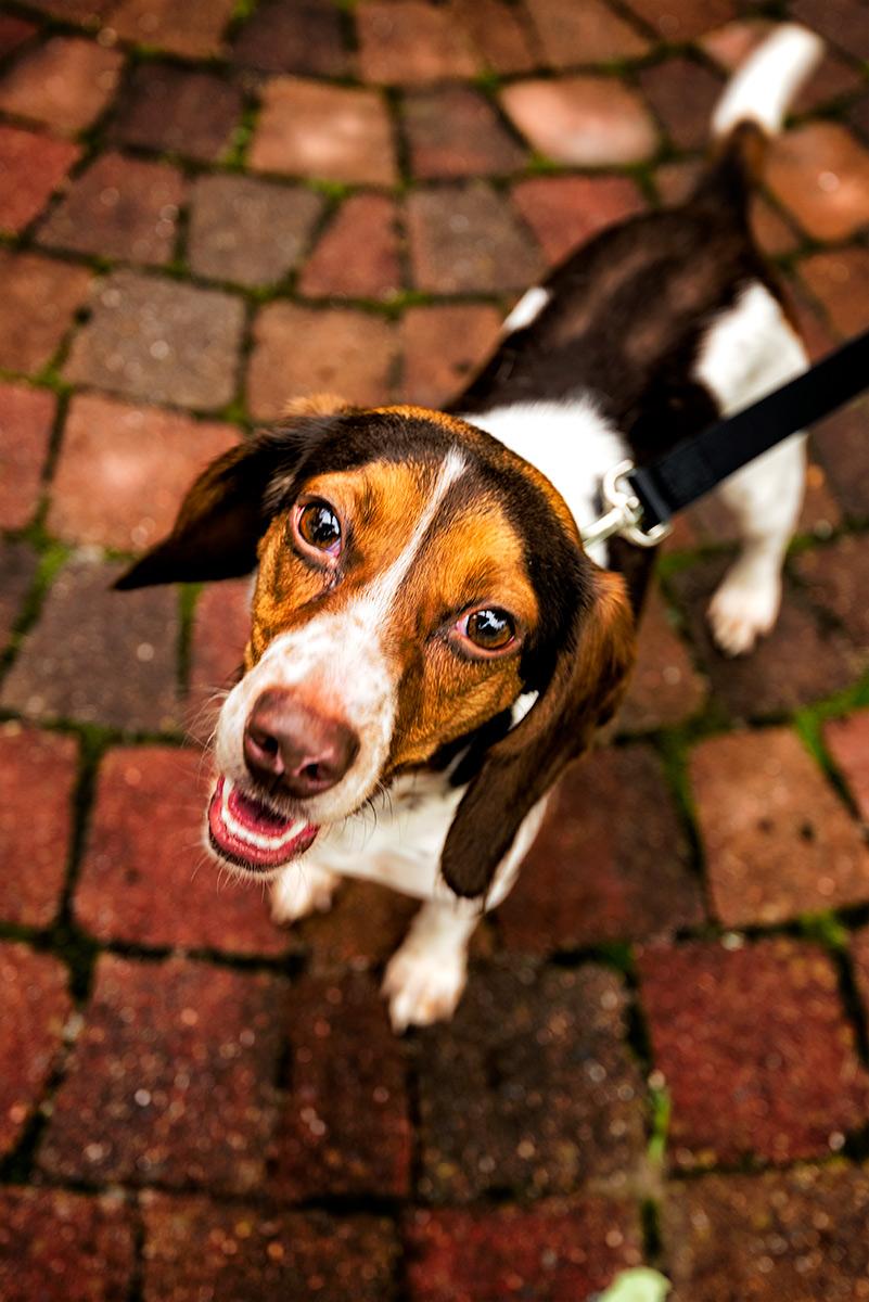Beagle Mix, Rescue Dog, shelter dog