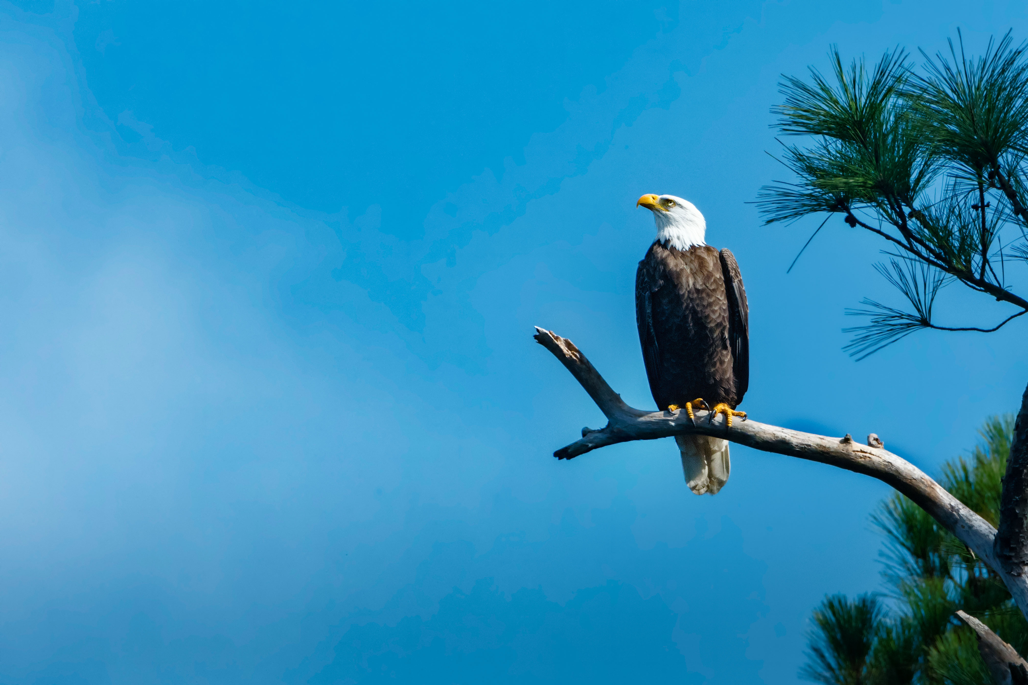 Bald Eagle, Loblolly Pine, Blackwater NWR