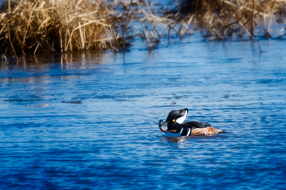 Hooded Merganser, Blackwater NWR