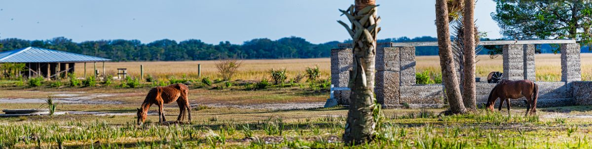 A panoramic image of Cumberland Island's wild horses