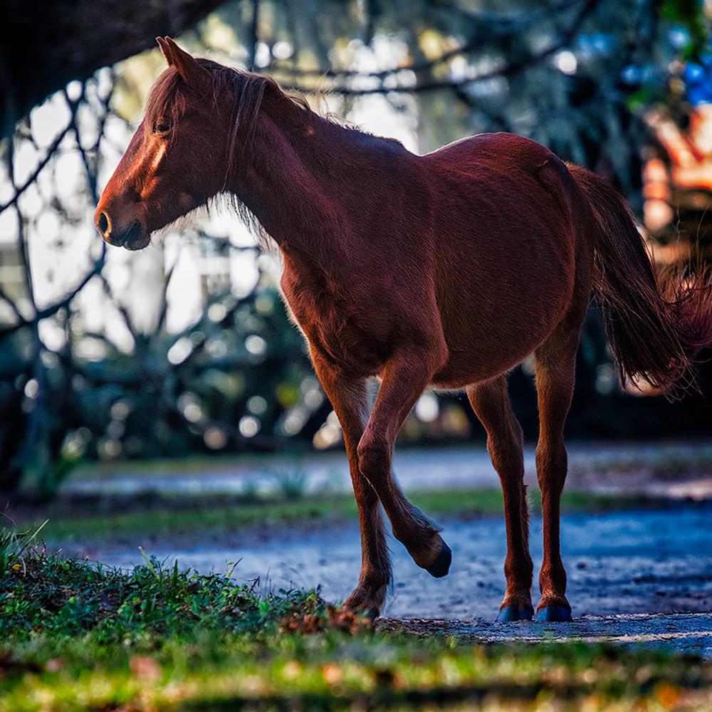 Cumberland Island – Side Lit Wild Horse