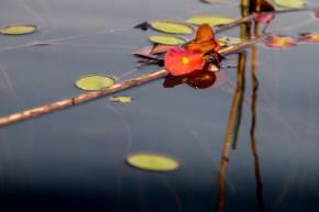 Botswana lily pad