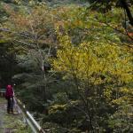 奄美探訪 シマウリカエデ