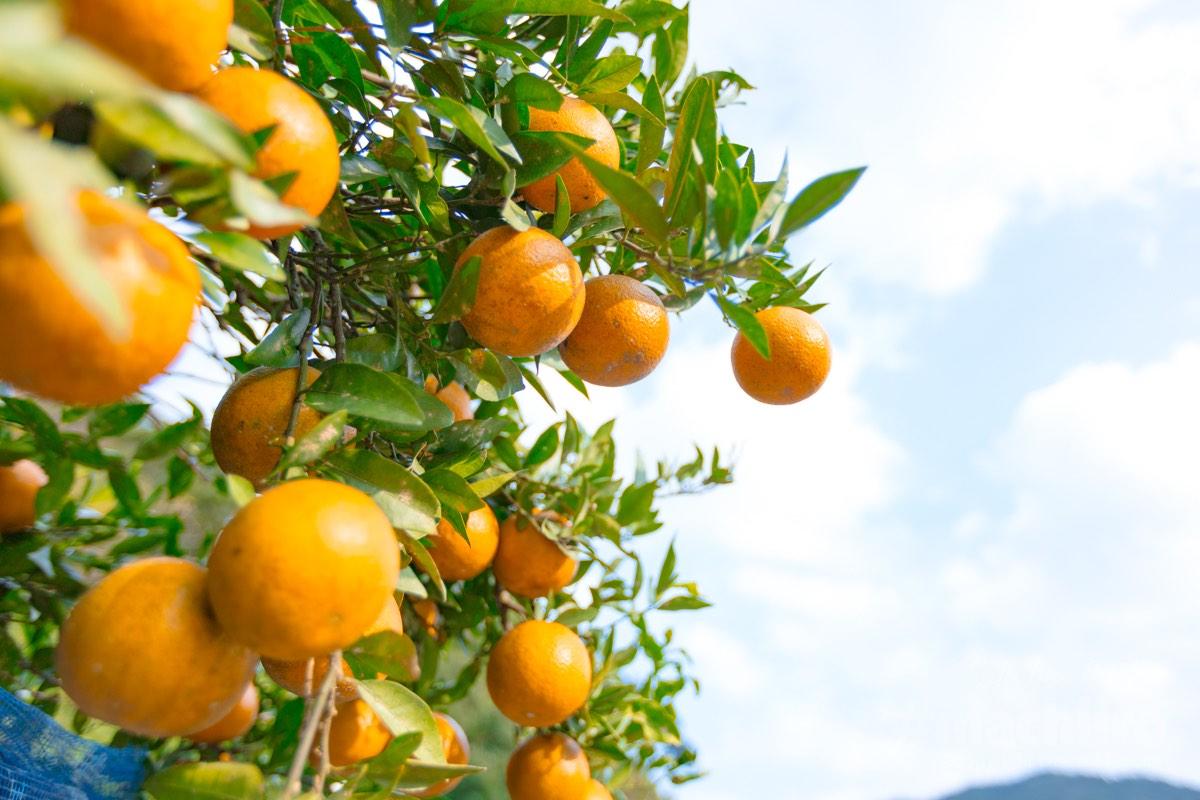 奄美大島 タンカン 果樹園