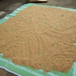 小麦(はさ掛け~脱穀まで) (6)