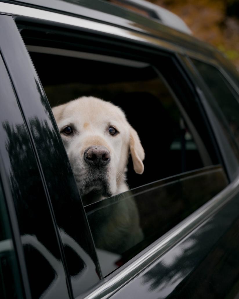 Cachorro dentro do veículo
