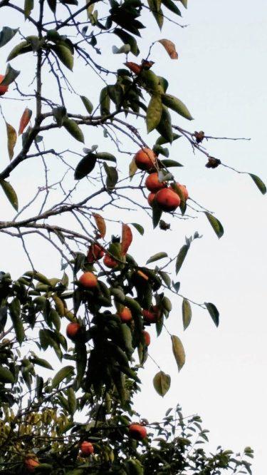 秋の味覚シリーズ。柿です。(東舘 女性)