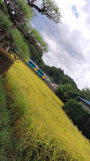 気持ちよく晴れ上がったので、自宅で洗車をしていたら見えた風景です。水郡線と田んぼ、それに庭の松とのコラボレーションです。(東舘 女性)