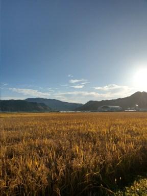 秋の名残の田んぼの景色。(東舘・女性)