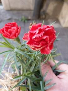 世話してないのに、この時期にも花をつけてくれるど根性カーネーション。ごめんね(東舘・女性)
