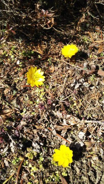 庭に福寿草が咲きました。春の足跡が聞こえてきます(関岡・女性)
