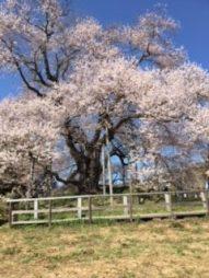 矢祭では定番。戸津辺の桜(東舘・女性)