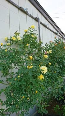我が家の庭のバラ。その2(関岡・男性)