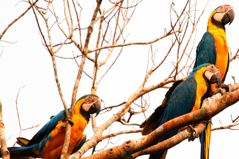 Tambopata Clay Lick, Chuncho Macaw Clay Lick