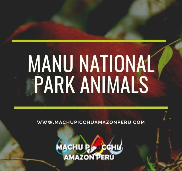 Manu National Park Animals The number of species Vertebrates are the most well-known group, comprising 221 species (5% of all mammals). 1,025 birds (10%) 150 species of amphibians. There are 100 species of reptiles currently known. In recent years, new species from all the Groups have been discovered in the South American cloud forests protected areas. There are many more to come. In the parks' rivers and Cochas (Oxbow Lakes), 210 species have been identified. There are 1,307 species of butterflies (5% of the total world), 136 dragonflies, and 650 beetles. Known species have been listed, but there are likely many more in the Amazon Basin. This diversity can be seen in Manu National Park's taxonomic group with over 5,000 species. It is equivalent to 1/6th of all the world's flora. The area around the Cocha Cashu Research Station has an astonishing 1,437 species. The chart below shows the distribution of families living in Manu National Park, a UNESCO world heritage site. Manu National Park Records The Manu National Park List of animals is one of the most diverse in the world. See the records bellow 1025 SPECIES of Bird including cock of the rock. 221 SPECIES OF MAMMALS 1307 SPECIES OF BUTTERFLIES 8 SPECIES OF WILDCATS 15 SPECIES OF PRIMATES 27 SPECIES of MACAWS 132 SPECIES of Reptiles 155 SPECIES OF AMPHIBIANS 300 SPECIES OF ANTS 650 SPECIES OF BEETLES Mammals in Manu National Park Manu Rainforest is home to a remarkable diversity of mammals. There are 221 species that have been recorded so far. Despite their high number, most mammals are difficult to spot in the rainforest. The most spectacular and large taxa that you will see are the primates, ungulates, and carnivores. Larger mammals are more tolerant of visitors after 40 years of hunting protection. Manu is the Amazon Rainforest's best place to observe mammals. The highlights include: The Giant Otter and Giant Armadillos are the largest and can be found in large groups along the lakes. They are the top predator i