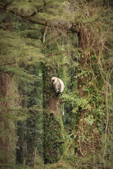 Indie Dharmasala małpki szare ptaki 23.03.2019 Fot. Maciej Załuski