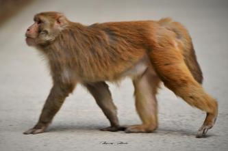Indie-Himalaje-dzień dziewiąty-małpki-świątynia-pies. 26.03.2019 Fot. Maciej Zaluski