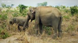 Srilanka-słonie-bawoły-safari-małpy-październik-2012-Fot-Maciej-Załuski-21