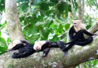 White-headed capuchin monkeys, Monkeys, Monkey, Costa Rica, Manuel Antonio National Park, Manuel Antonio, National Park, Photo challenge