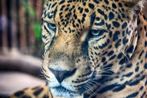 Jaguar, Costa Rica, Animal, Las Paz