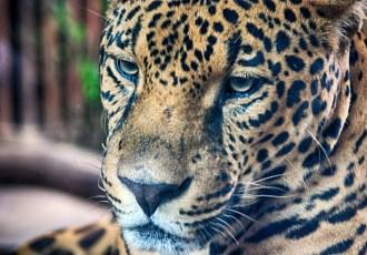 Jaguar, Costa Rica, Animal, Las Paz