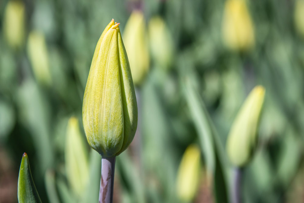 Bud, Tulip, Tulips, Green