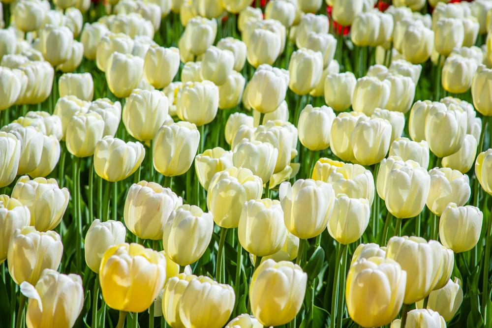 white, tulips, Ottawa, Canada, Festival