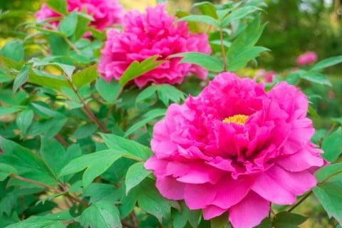ボタンと椿の花の違い、牡丹はギザギザ、ツバキは丸い