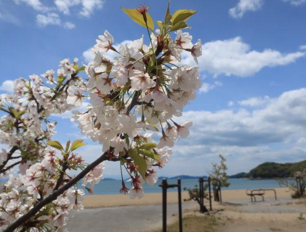 【沙美海岸】桜と青い海・瀬戸大橋、岡山県