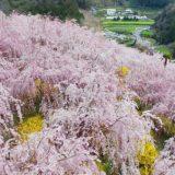 日本一の「しだれ桜」~ゆうかの里~徳島県 神山町