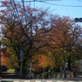 東京、桜坂の紅葉、桜が紅葉、紅葉めぐり2019