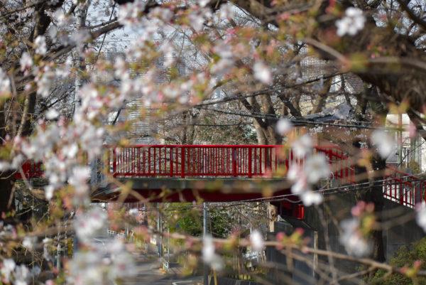 【桜】桜坂・東京 咲き始めた(∩´∀`)∩