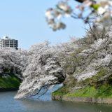 【桜・東京】千鳥ヶ淵 おすすめルート 満開をすぎて散り始めでした お花見 2020年4月上旬