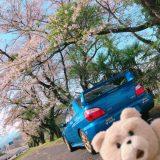 【WRX】東京の桜と2ショット、東京の桜は、もう葉桜になりつつ。。TEINのステッカー