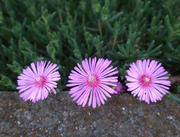 【マツバギク】ピンクが眩しい夏の花