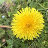 【タンポポに似た黄色い花】ブタナ、コウゾリナ、ノゲシ、オニノゲシ