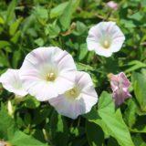 【白とピンクの花】ヒルガオ
